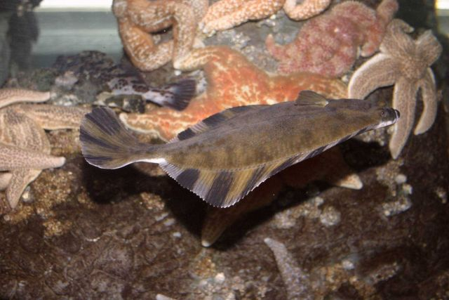 A starry flounder (Platichthys stellatus) Picture