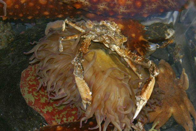A Pacific lyre crab on a large anemone. Picture