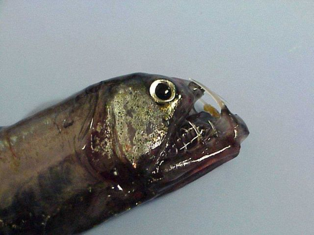 Head of a pacific Viperfish caught during trawling operations. Picture