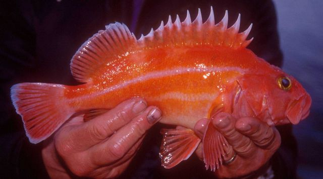 Juvenile Yelloweye rockfish fish jigged up during an ROV survey. Picture
