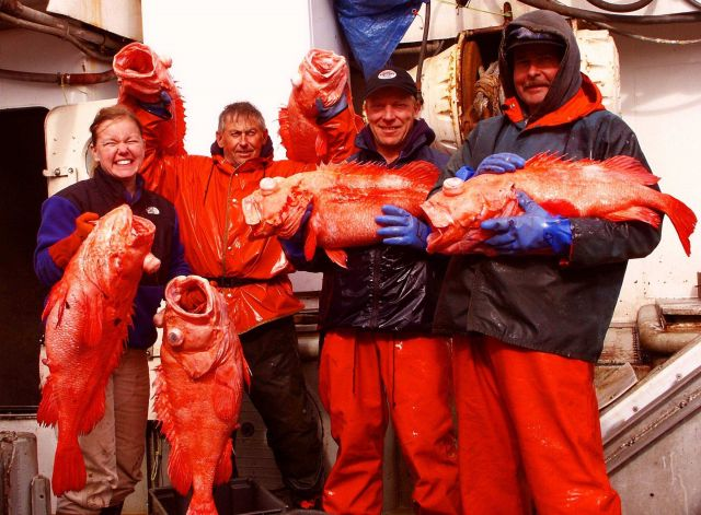 Shortraker rockfish catch during an acoustic trawl survey Picture