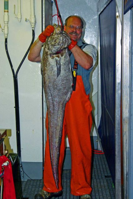 Large giant grenadier caught during longlining operations. Picture