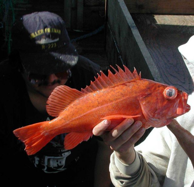 Vermilion rockfish (Sebastes miniatus) on board the F/V Excalibur Picture
