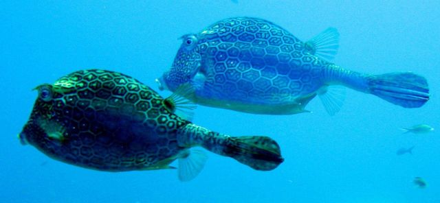 Honeycomb cowfish ( Acanthostracion polygonius ) Picture
