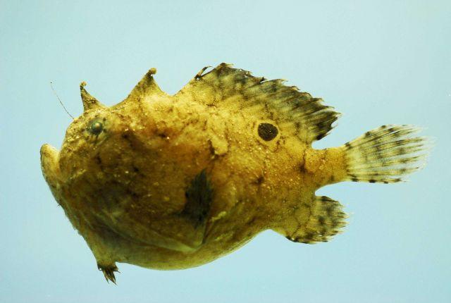 Singlespot frogfish ( Antennarius radiosus ) Picture