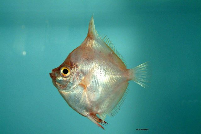 Boarfish ( Antigonia capros ) Picture
