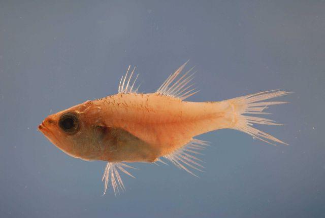 Bigtooth cardinalfish ( Apogon affinis ) Picture