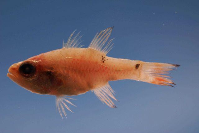 Twospot cardinalfish ( Apogon pseudomaculatus ) Picture