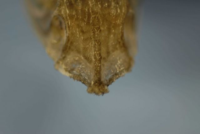 Top of snout of hollowsnout grenadier or saddled grenadier ( Caelorinchus caelorhincus ) Picture