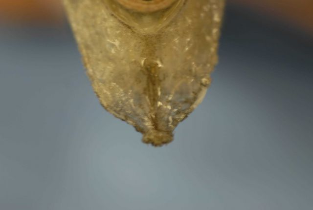 Underside of snout of hollowsnout grenadier or saddled grenadier ( Caelorinchus caelorhincus ) Picture