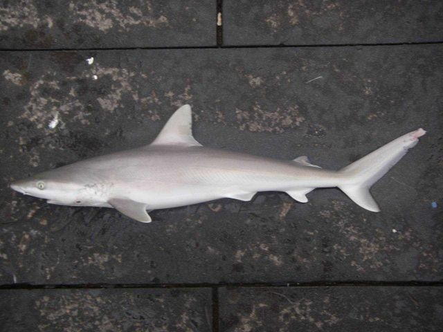 Blacknose shark ( Carcharhinus acronotus ) Picture