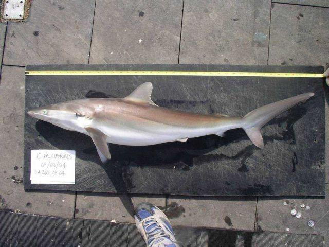 Silky shark ( Carcharhinus falciformis ) Picture