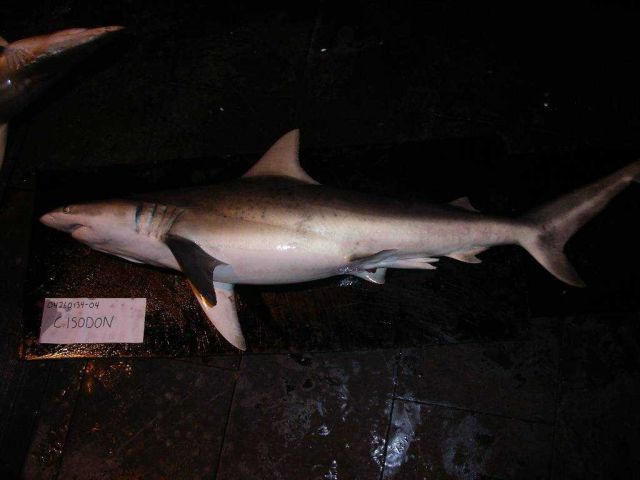Finetooth shark ( Carcharhinus isodon ) Picture