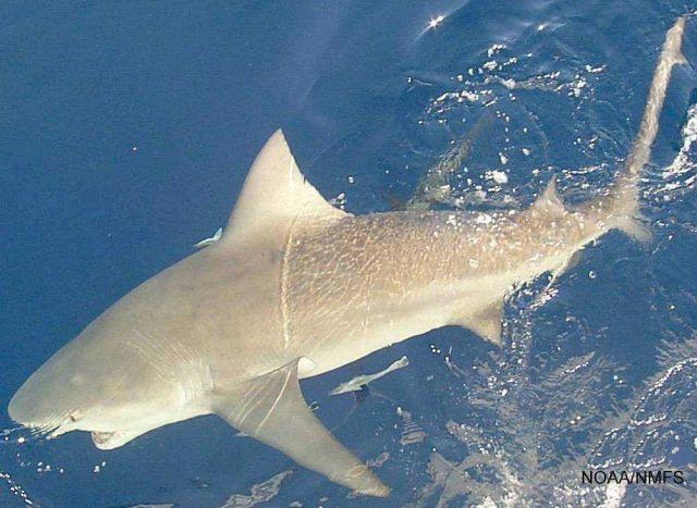 Bull shark ( Carcharhinus leucas ) Picture