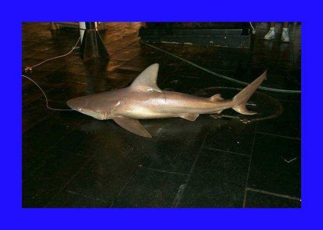 Sandbar shark ( Carcharhinus plumbeus ) Picture