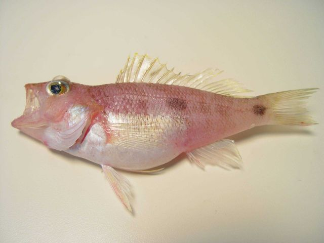 Twospot sea bass ( Centropristis fuscula ) Picture