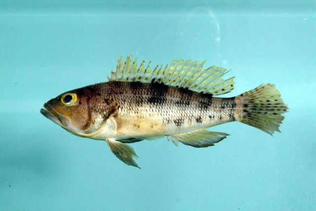 Bank sea bass ( Centropristis ocyurus ) Picture
