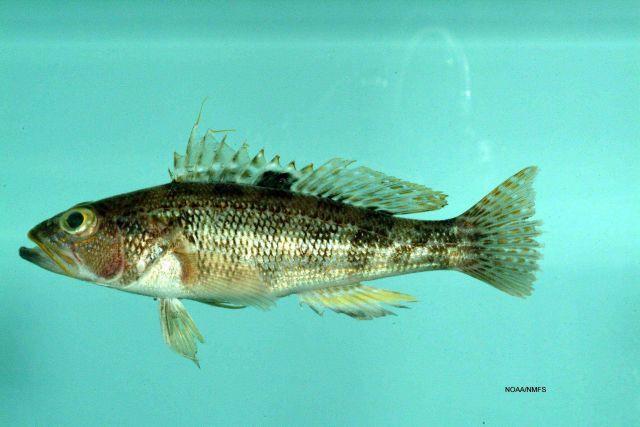 Rock sea bass ( Centropristis philadelphica ) Picture