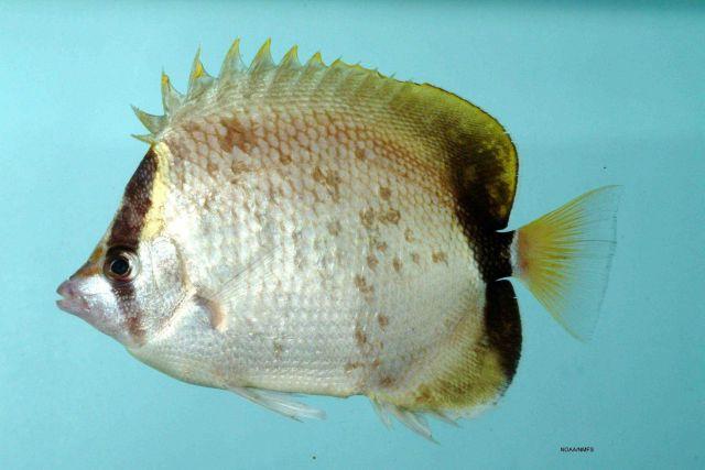 Reef butterflyfish ( Chaetodon sedentarius ) Picture