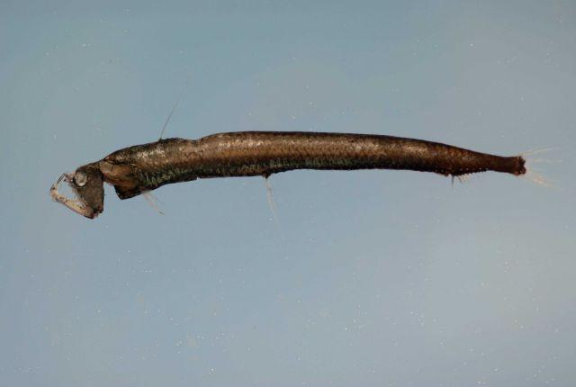 Sloane's viperfish ( Chauliodus sloani ) Picture