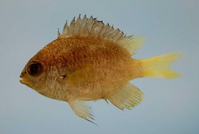 Yellowtail reeffish ( Chromis enchrysura ) Picture