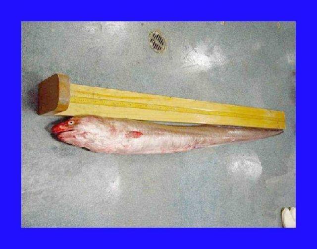A conger eel or American conger ( Conger oceanicus ) Picture