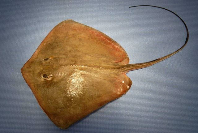 Southern stingray ( Dasyatis americana ) Picture