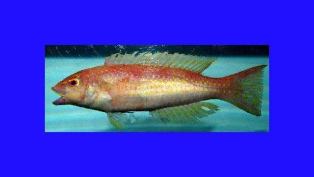 Red hogfish ( Decodon puellaris ) Picture
