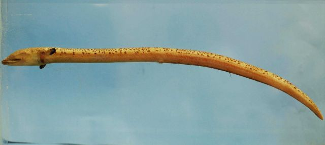 Stippled spoon-nose eel or snapper eel ( Echiophis punctifer ) Picture