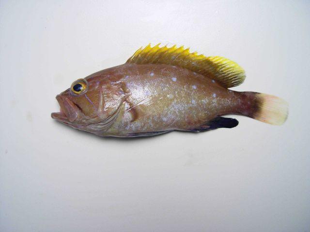 Juvenile yellowedge grouper ( Epinephelus flavolimbatus ) Picture
