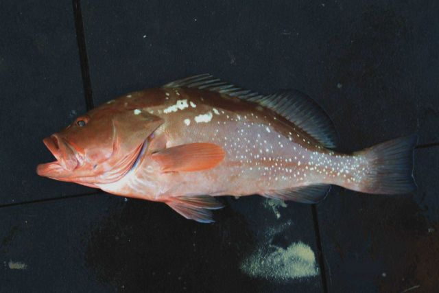 Red grouper ( Epinephelus morio ) Picture