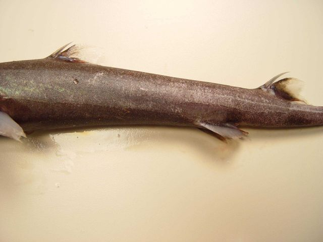 Blurred smooth lantern shark ( Etmopterus bigelowi ) Picture
