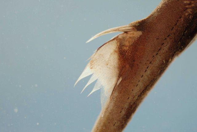 Second dorsal fin of fringefin lanternshark ( Etmopterus schultzi ) Picture