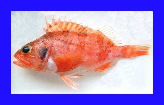 Blackbelly rosefish ( Helicolenus dactylopterus ) Picture