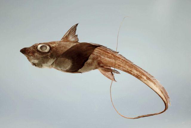A shortnose chimaera or ratfish ( Hydrolagus alberti ) Picture