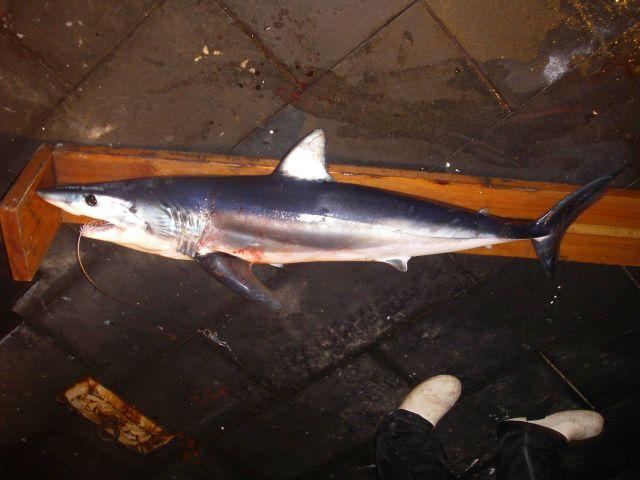 Shortfin mako shark ( Isurus oxyrinchus ) Picture