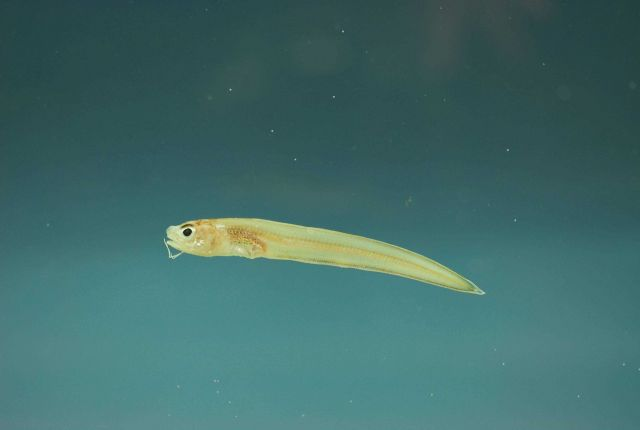 Juvenile blackedge cusk-eel or shortbeard cusk-eel ( Lepophidium brevibarbe ) Picture