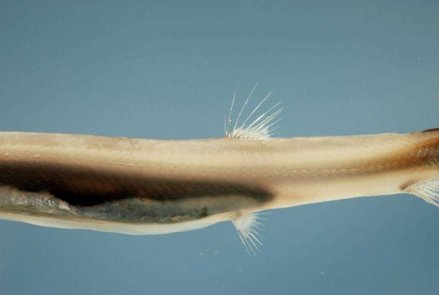 Dorsal fin placement of the Atlantic barracudina ( Lestidium atlanticum ) Picture