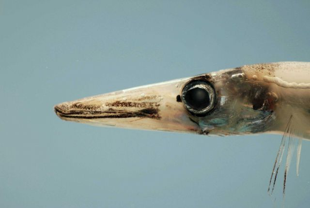 A species of barracudina characterized by a prominent black spot anterior to eye ( Lestrolepis intermedia ) Picture