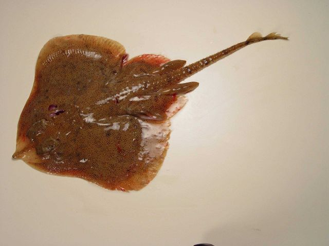 Freckled skate or rosette skate ( Leucoraja garmani ) Picture