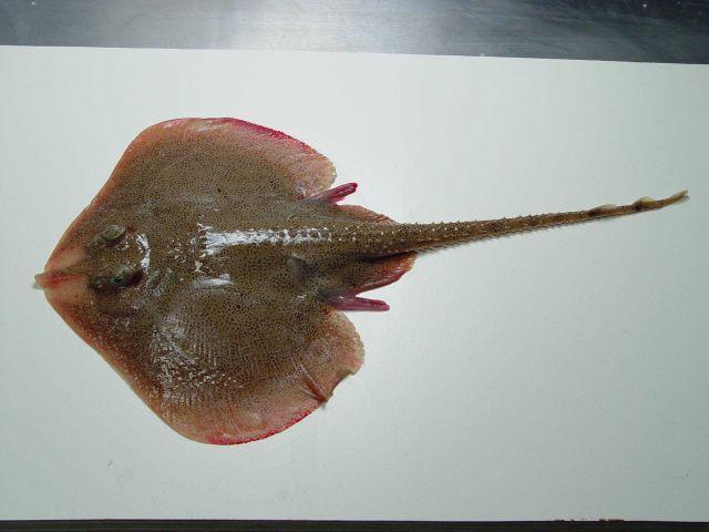 Speckled skate ( Leucoraja lentiginosa ) Picture