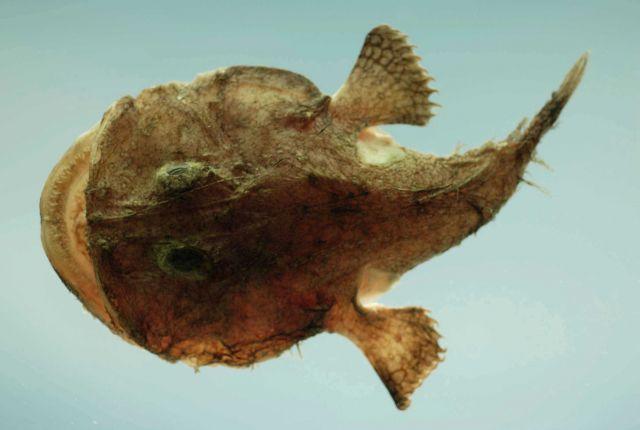Reticulated goosefish (Lophiodes reticulatus) Picture