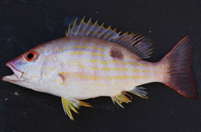 Lane snapper (Lutjanus synagris) Picture