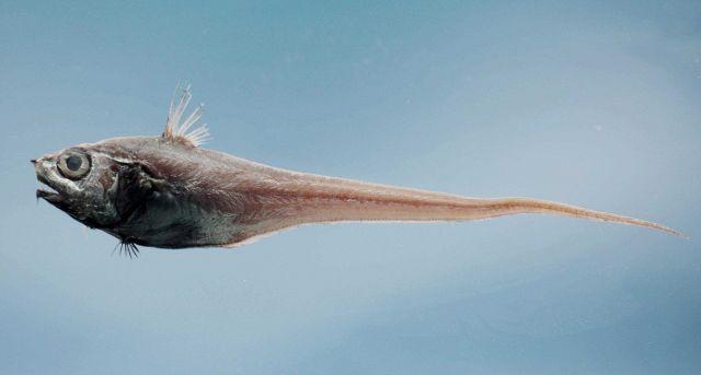 Western softhead grenadier (Malacocephalus occidentalis) Picture
