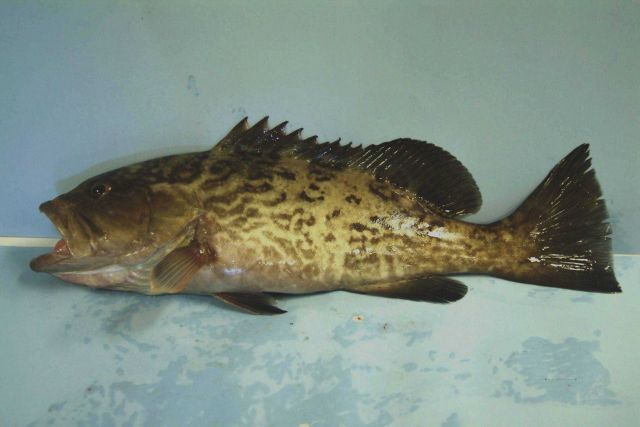 Gag (Mycteroperca microlepis) , a type of grouper Picture