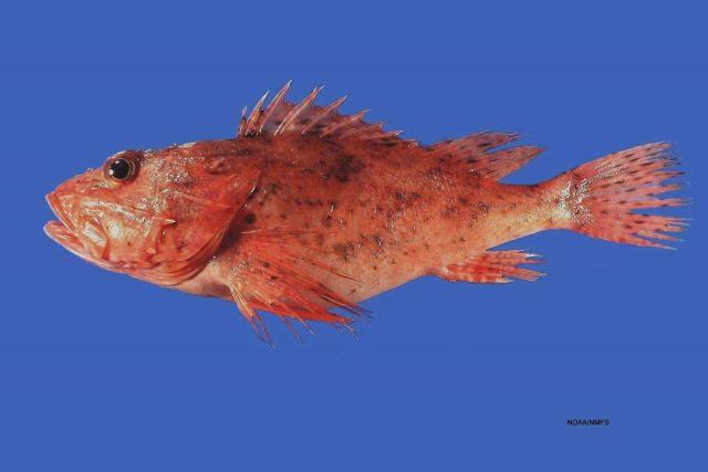 Spinycheek scorpionfish (Neomerinthe hemingwayi) Picture