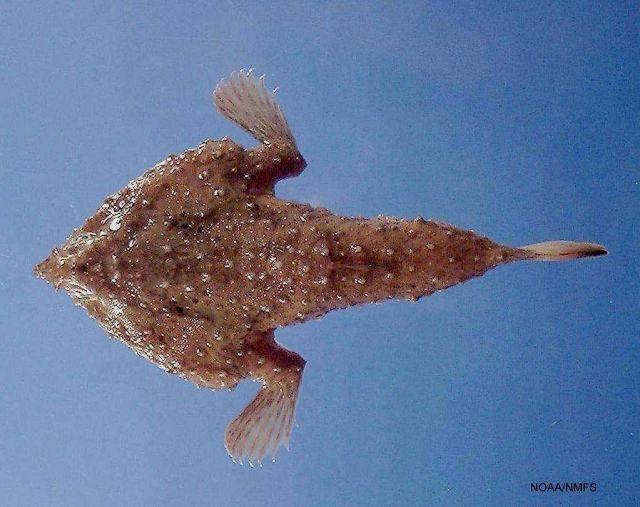 Slantbrow batfish (Ogcocephalus declivirostris) Picture