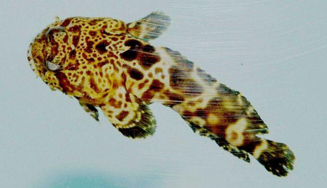 Leopard toadfish (Opsanus pardus ) Picture