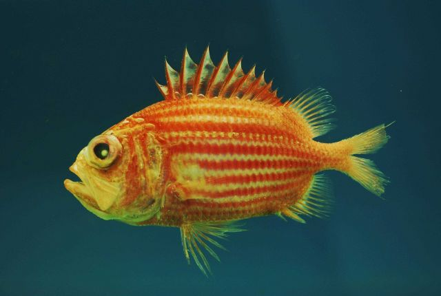 Bigeye soldierfish (Ostichthys trachypoma ) Picture