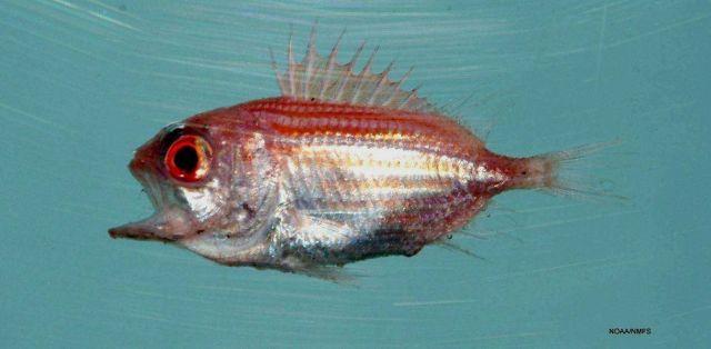 Juvenile bigeye soldierfish (Ostichthys trachypoma ) Picture
